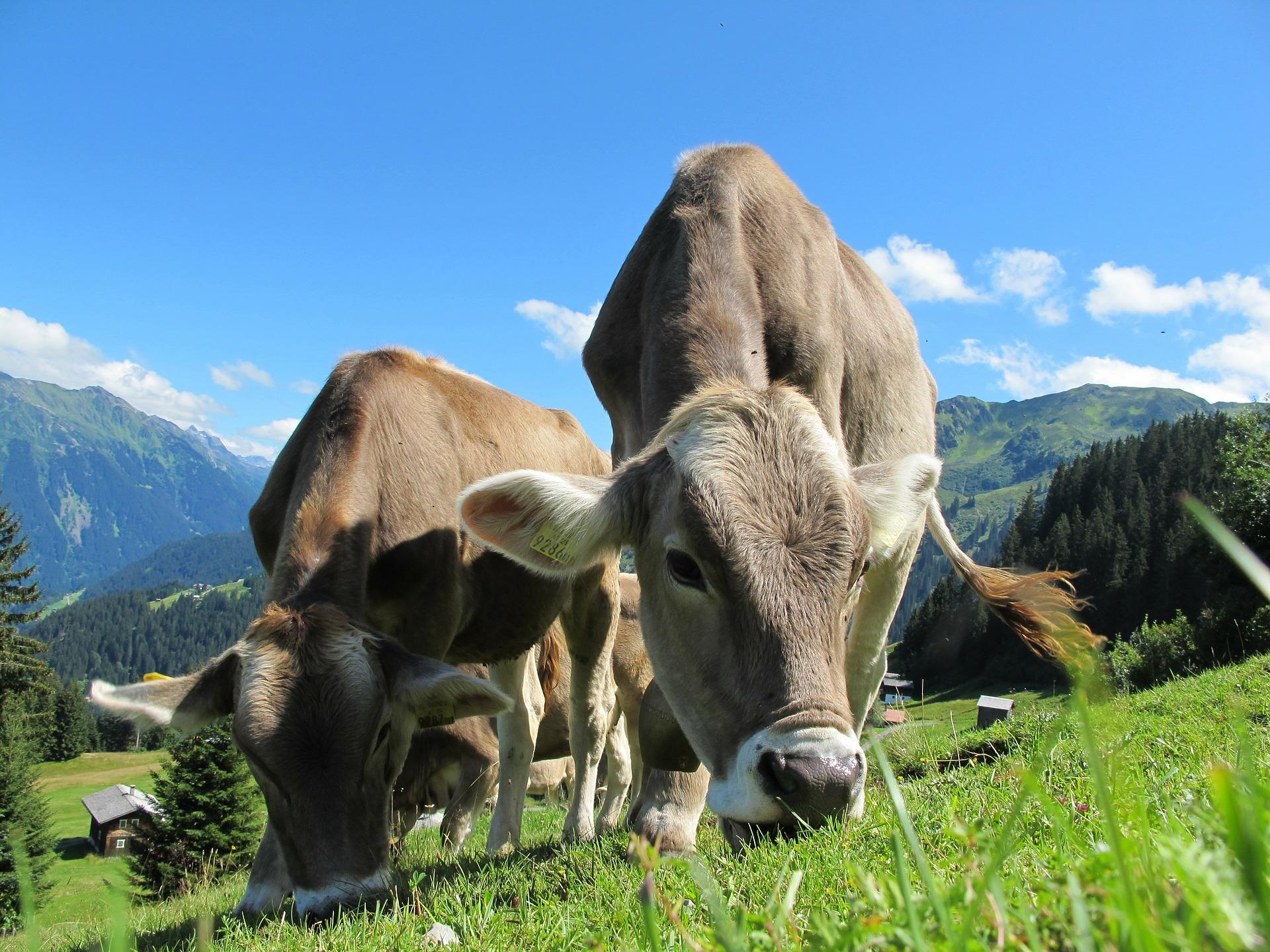 Ingolf Derkow und das Bergwandern Alpen cows-cow-203460_1920