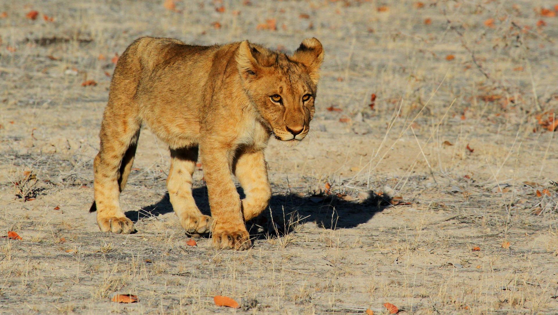 Afrika Tierarten Löwe